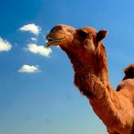 camel-stock-images-617